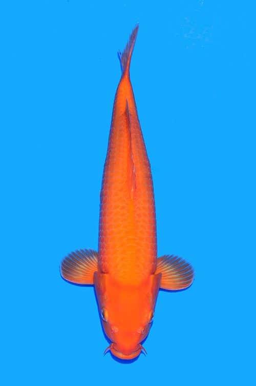 Benigoi Ogata 47 cm nisai female
